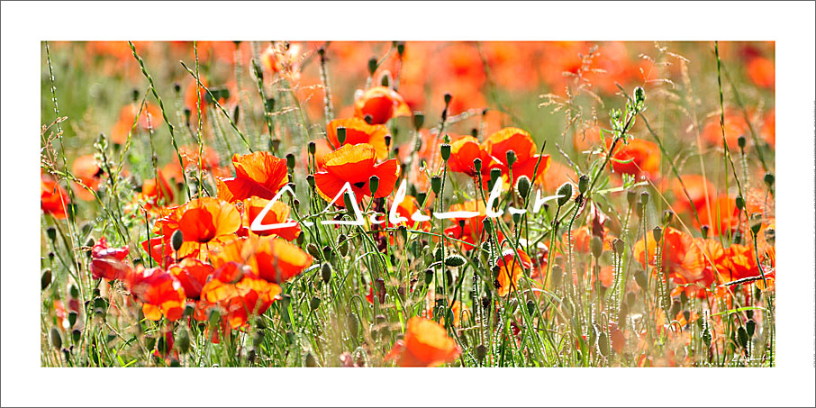 Poppies in summer, country, flowers, forests and nature, France. Photo poster and art print. Image Gallery and picture Christophe Schambert