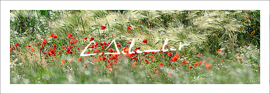 Poster Photo Coquelicots Campagne de France - Photographie Nature et Paysages - Nature and Landscape Photography - Christophe Schambert