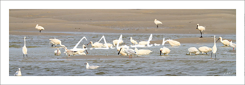 Sponnbills and egrets fishing, panoramic view, Bay of Somme, birds, nature and wild life, Hauts-de-France, France. Photo poster and art print. Image Gallery and picture Christophe Schambert